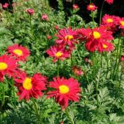 Пиретрум Алая звезда Плазменные семена