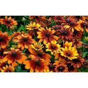 Рудбекия Осенние цветы Аэлита 0,1 г