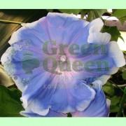 Ипомея Голубое блаженство