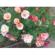 Эшшольция Яблоневый цвет