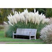 Кортадерия серебристая (пампасная трава) Плазменные семена 0,01 г