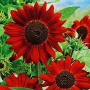 Подсолнечник декоративный Красное солнышко Аэлита