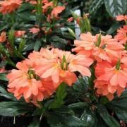 Кроссандра лососево-оранжевая Плазменные семена 3 шт