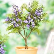 Жакаранда фиалковое дерево Гавриш 3 шт