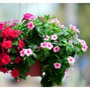 Барвинок (Катарантус) ампельный розовый Медитерранеан микс