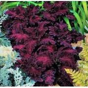 Колеус Черный дракон Плазменные семена 10 шт.