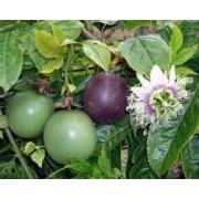 Пассифлора (маракуйя)  съедобная Фиолетовая